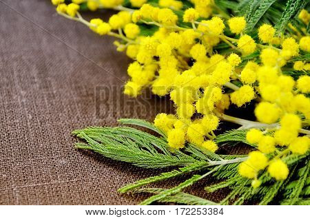 Mimosa spring flowers on brown linen surface - spring background with spring mimosa flowers. Closeup of mimosa spring flowers on the brown surface. Spring colorful background