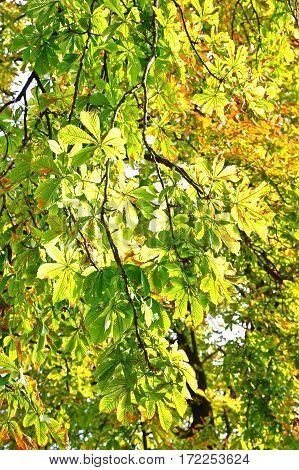 Chestnut Leaves On Autumn Sunbeam