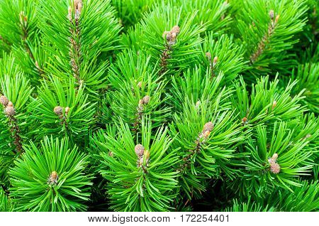 Mountain pine - closeup view of dwarf pine tree. Nature background of pine dwarf tree. Closeup of nature background of pine tree branches. Green pine tree - nature background