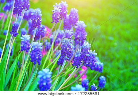Spring flowers muscari - floral natural spring background with flowers of muscari. Focus at the spring flowers. Spring nature view of spring muscari flowers.