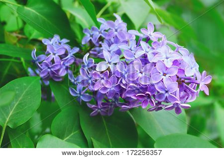 Lilac flowers spring floral background with spring flowers . Selective focus at the central flowers. Spring flowers in the garden. Closeup of spring flowers of lilac