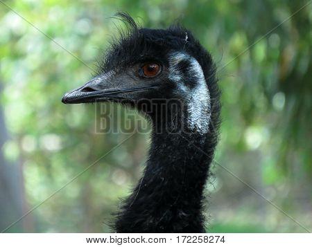 Emu close-up of face and beak. Australian bird animal.
