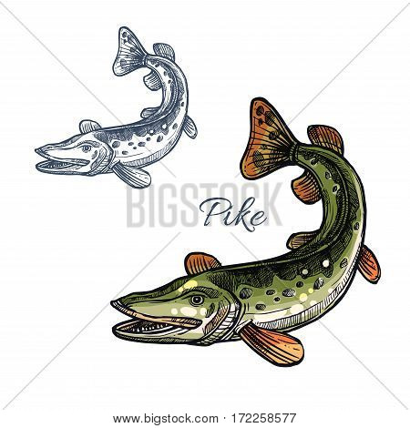Pike sketch vector fish icon. Fresh water lake fish species of blue walleye or characin. Isolated symbol for seafood restaurant sign or emblem, fishing nature club or fishery industry