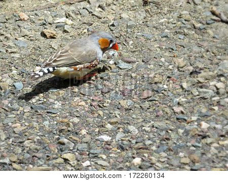 Zebra Finch Australian native bird animal perched on pebble ground