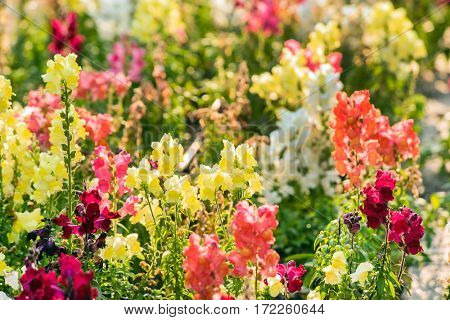 colourful snapdragon flowers in the garden