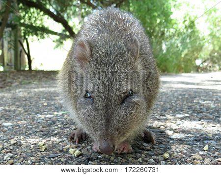 Potoroo Bandicoot Australian wildlife animal rodent native marsupial Australia eating