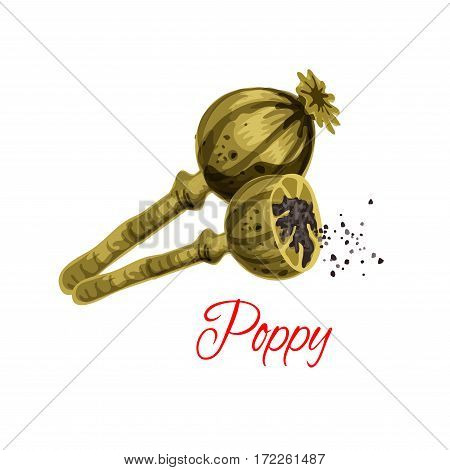 Poppy capsule with seeds vector icon. Herbal spice of flower plant for culinary cuisine condiment, flavoring or bakery and dessert filling ingredient. Isolated vector dried poppy pod heads