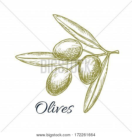 Green olives bunch sketch icon of olive-tree plant branch. Vector isolated design for olive oil label, salad dressing ingredient and seasoning of healthy vegetarian and vegan vegetable food menu