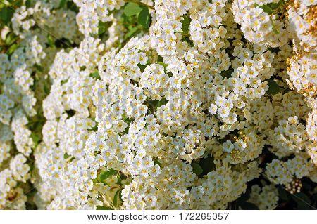 White Spiraea Flower