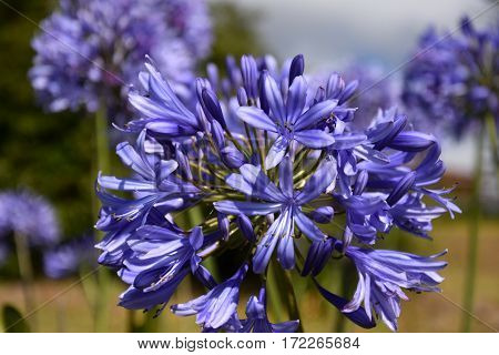 Closeup photo of Lily of the Nile also called African Blue Lily flower in purple blue shade (Agapanthus Africanus) in Australia. Blue Agapanthus flowering plant in summer garden.