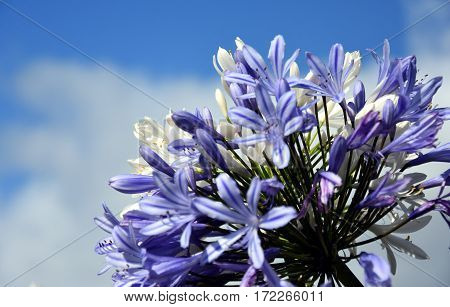 Quater of Lily of the Nile also called African Blue Lily flower in purple blue shade (Agapanthus Africanus) in Australia. Blue Agapanthus flowering plant in summer garden.
