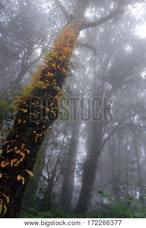 Misty tropical green rain forest Ang Ka Nature Trail Doi Inthanon National Park Chiang Mai THAILAND