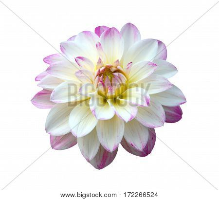 Close up of white pink dahlia flower on white background