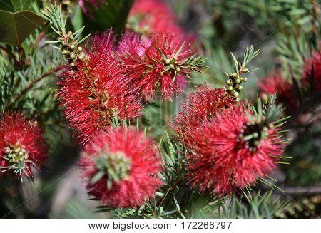 Closeup of a pink bottle brush. Native australian flower pink bottlebrush shrub flowering. Banksia ericifolia with pink flower.