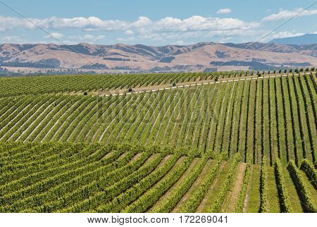 rolling hills with vineyards in summertime in Marlborough region of New Zealand