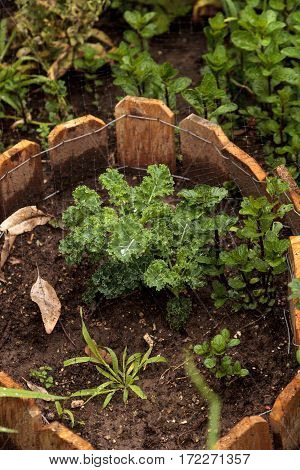 Homegrown kale in a small organic vegetable garden
