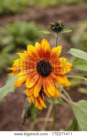 Dwarf Little Becka Sunflower