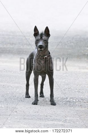 Mexican Hairless Dog (Xoloitzcuintli) standing over blurry backgtound