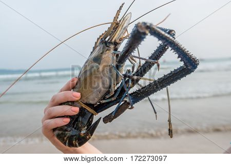 Close-up of giant river prawn or Macrobrachium rosenbergii at hand