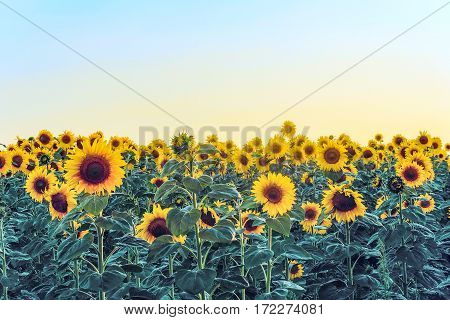 Blooming sunflowers in the field at the evening light. Agriculture background.
