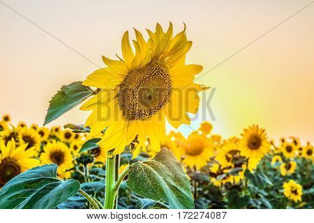 Blooming sunflowers on a background of bright sunny plantations. Agricultural background with limited depth of field.