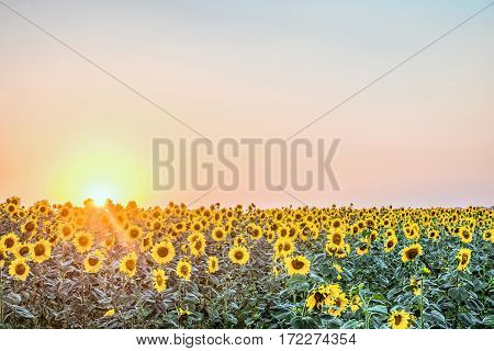 Sunflower field in the rays of low evening sun. Agricultural natural background.