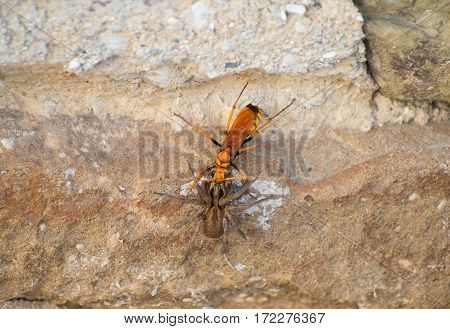 large yellow wasp wolf fighting with brown spider on a stone wall rough
