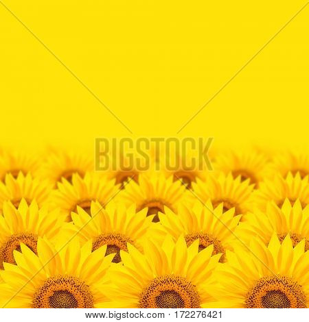 sunflowers background with yellow copy space