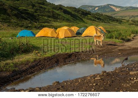 Dog guarding the camp in the brookvalley Spokoyny at the foot of outer north-eastern slope of caldera volcano Gorely.