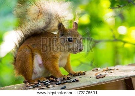red squirrel sitting watching warily on the roof of the house among the nuts seeds closeup