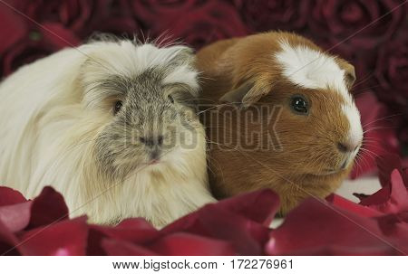 Beautiful Guinea pigs breed Golden American Crested and Coronet cavy in the petals of red roses