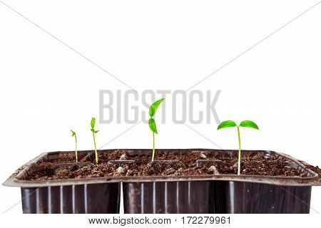 Young green shoots of seedlings in PVC capacity cassette isolated on white background. Pepper seedlings. Limited depth of field.