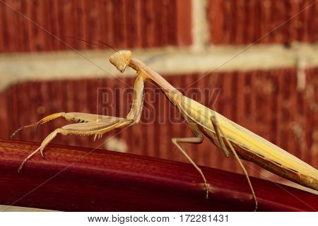 A preying mantis on a stalk of rhubarb looking right at you