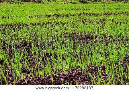 Young green shoots of grass on the oat field. Natural spring background. Limited depth of field.