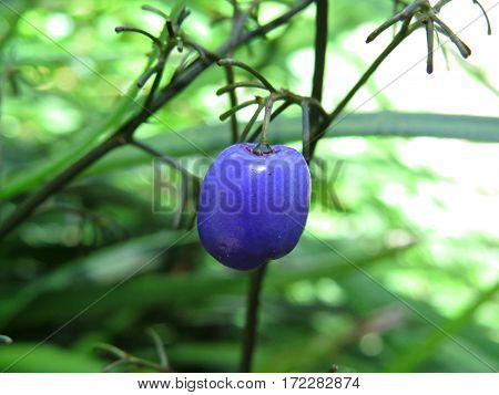 Purple blue Dianella berry Blueberry lily Lilly Native Australian plant