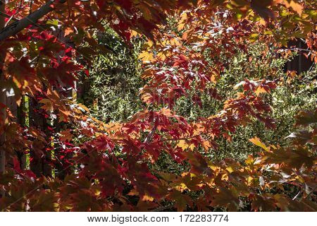 Sun dapled maple leaves changing vibrant colors on a beautiful fall day.