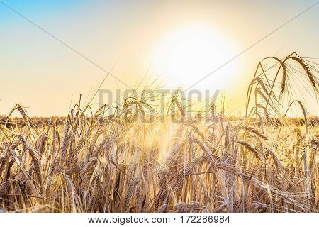 Agricultural natural background with ripe spikelets of rye in the rays low sun backlight