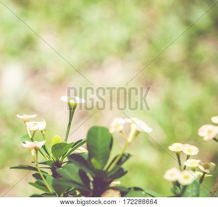 Vintage Filter, Close Up  Crown Of Thorns Flower With Blur Garden Background