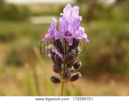 Close-up of a purple lavender flower in an Australian outback farm bush land garden