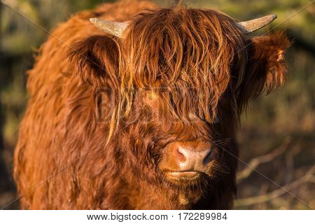 Scottish highlander cow looking at camera. Frontal view of face with eyes hidden behind long hair