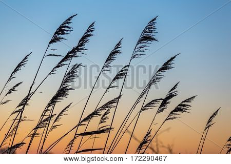 Reed silhouetted against sky background with orange sky color gradient at sunset