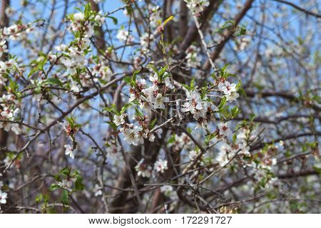 First Almond Blossom