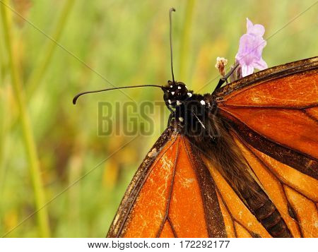 Monarch butterfly close-up head orange and black lavender flower field