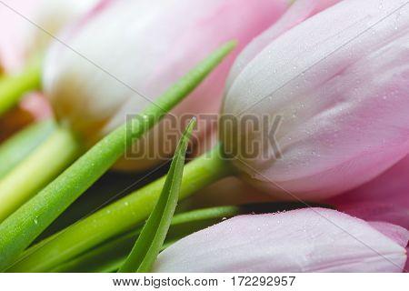 Pink fresh flowers tulips with water drops, wet petals, macro