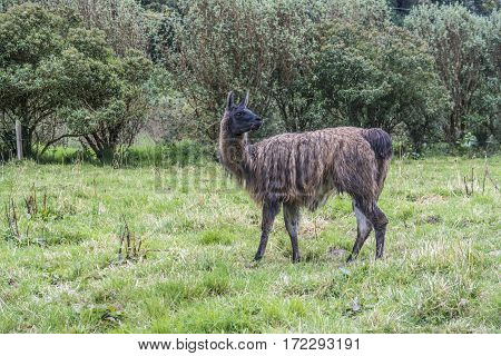 Black Galapagos Lama Grazes At The Green Meadow