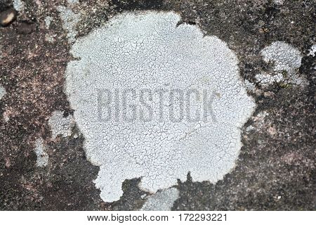 Lichen on the stone, lichen is a composite organism that arises from algae and/or cyanobacteria living among filaments of multiple fungi in a symbiotic relationship