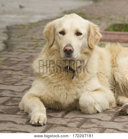 Golden retriever laying on the street looking to the camera