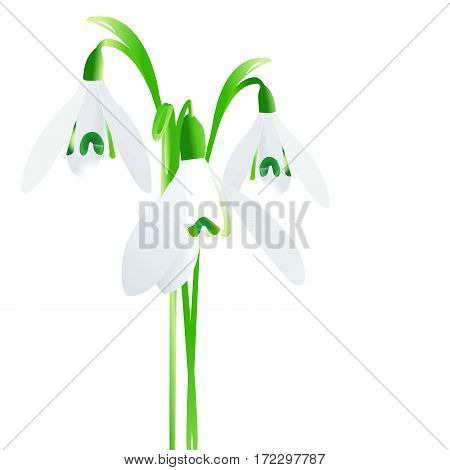 Three snowdrop spring flowers isolated on white background