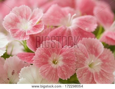 Pink and white sweet-william like spring background outdoor blurred