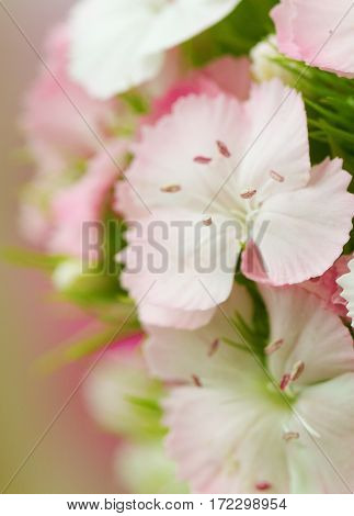 Pink and white sweet-william like spring background outdoorб blurred